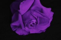 one of our many rose fragrance oils